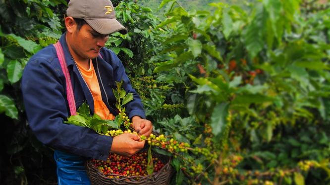 Première récolte de café au Pérou (Coopérative Cecafe - AB et Fair trade)