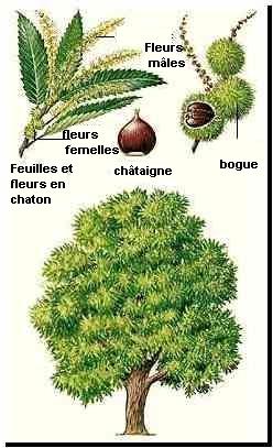 """Chataignier  parrainé par Mr et Mme """"nom"""""""
