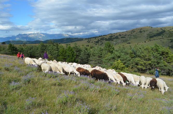 troupeau de brebis désherbant la lavande sauvage