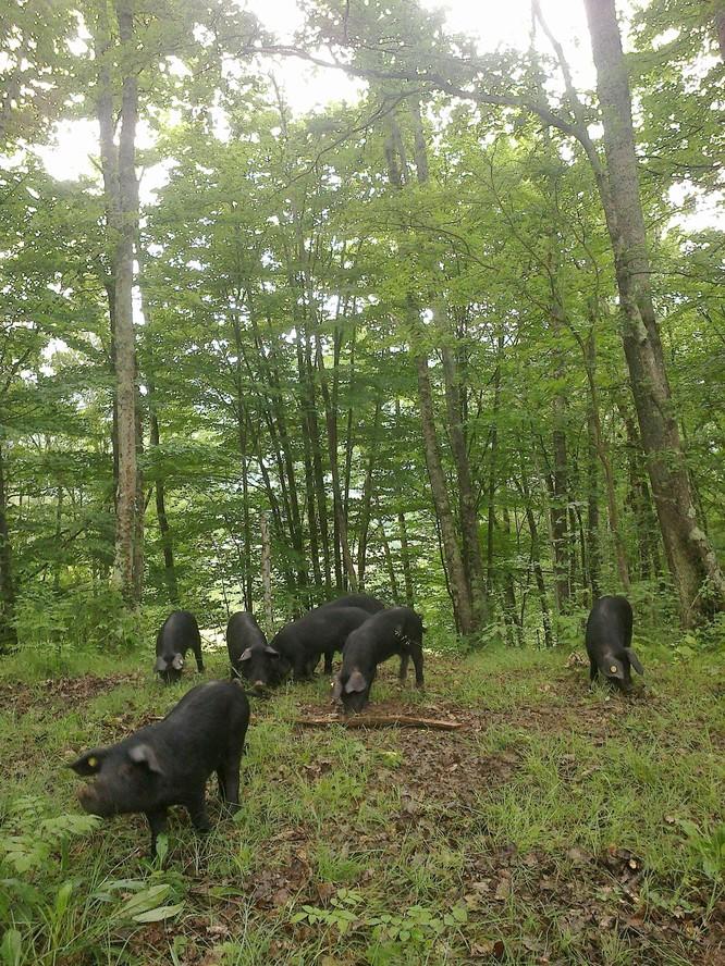 nos porcs gascons
