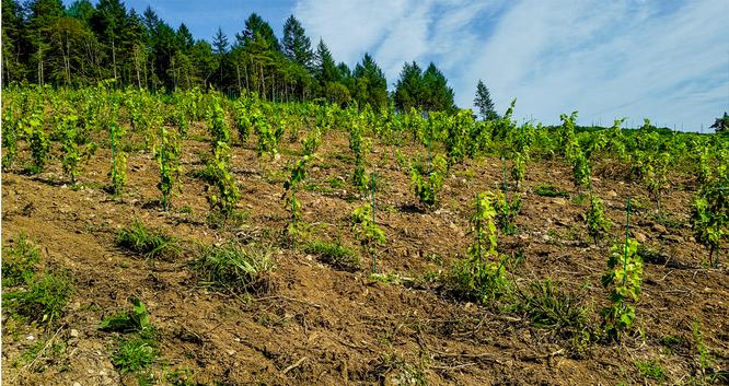 Hauteur de la vigne en aout 2017