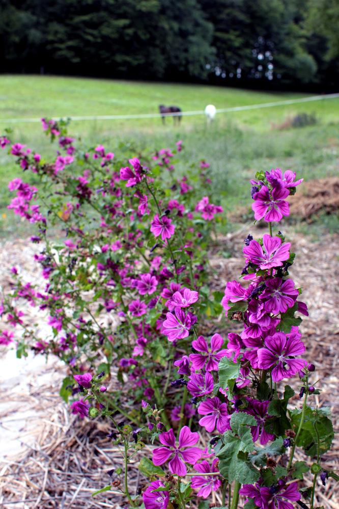 Fleurs de Mauve Sylvestre au mois d'Août
