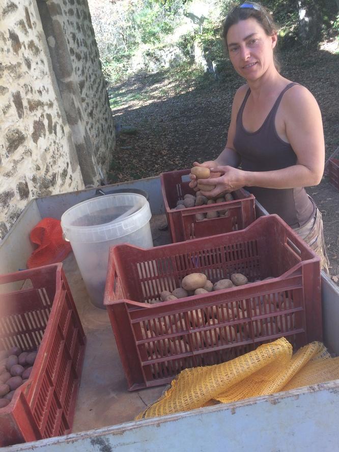 Le triage des pommes de terre