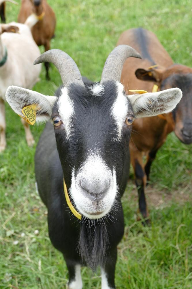 Race chèvre de Savoie