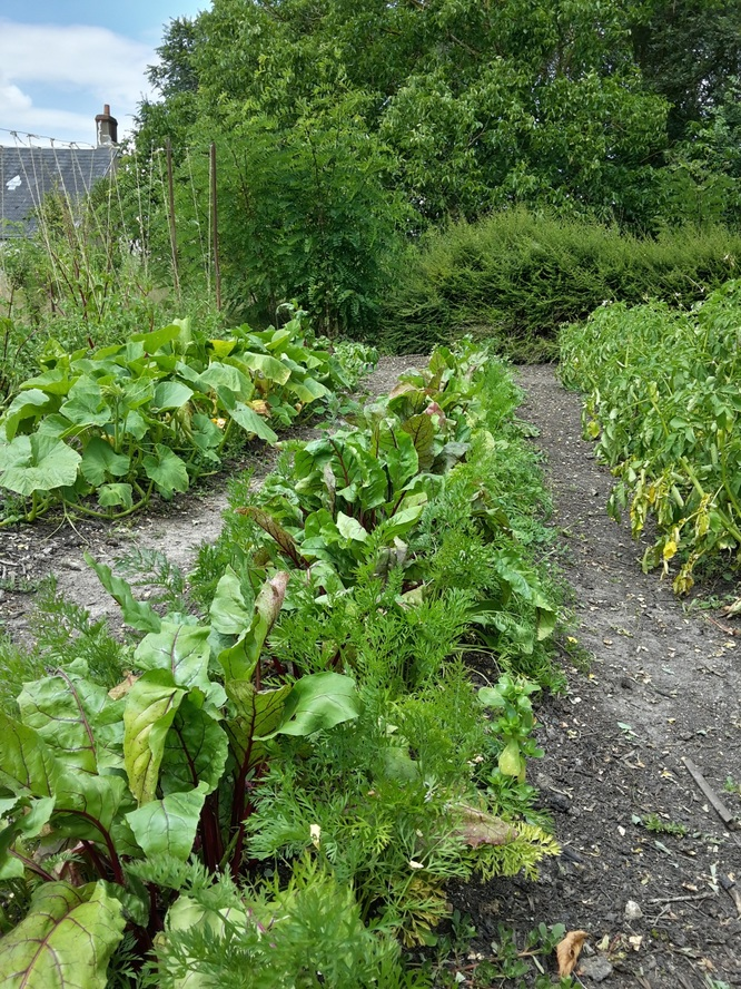 Association betterave-carotte au centre + radis ou pourpier sur les rangs extérieurs (déjà récolté)