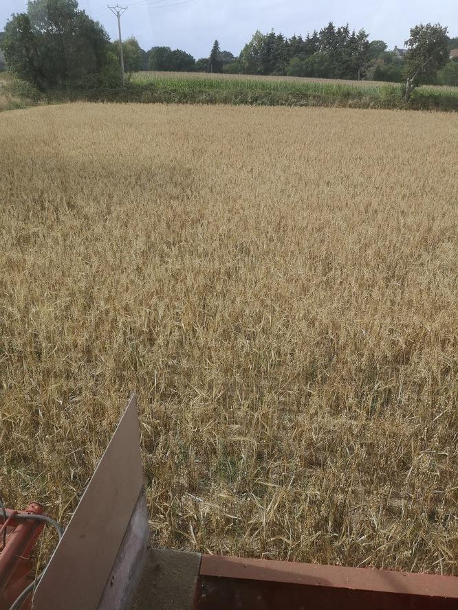 Céréales prêtes à être récoltées
