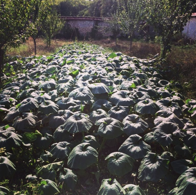 courges permaculture