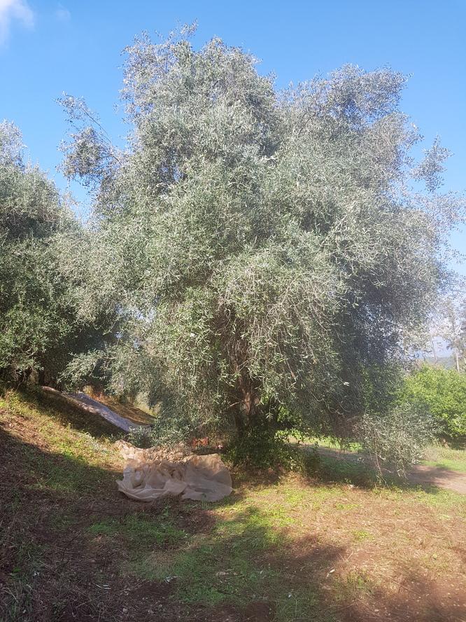 Mes oliviers à la récolte