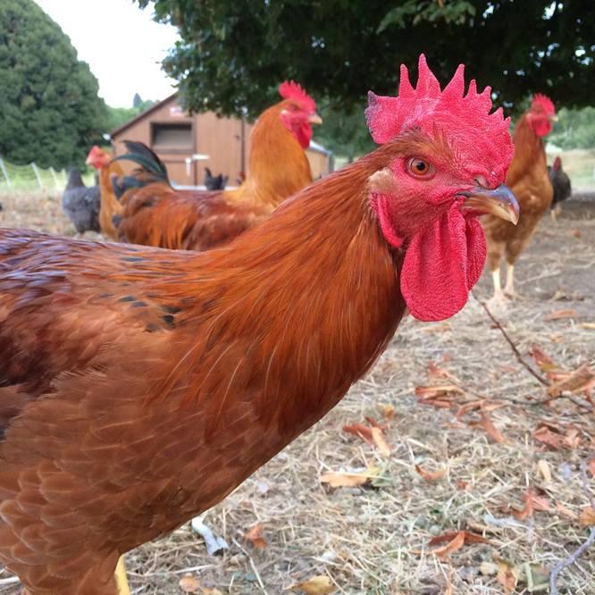 Poulets de la ferme