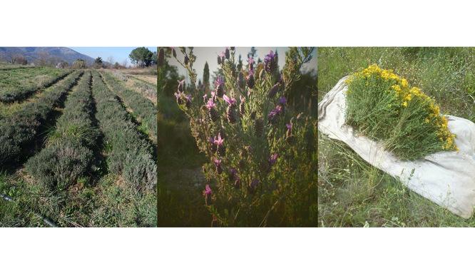 Plantes Médicinales Tarn
