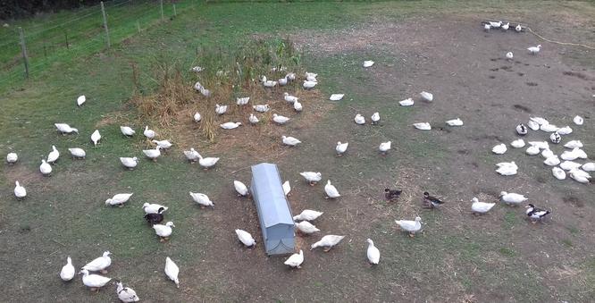 Canards en extérieur