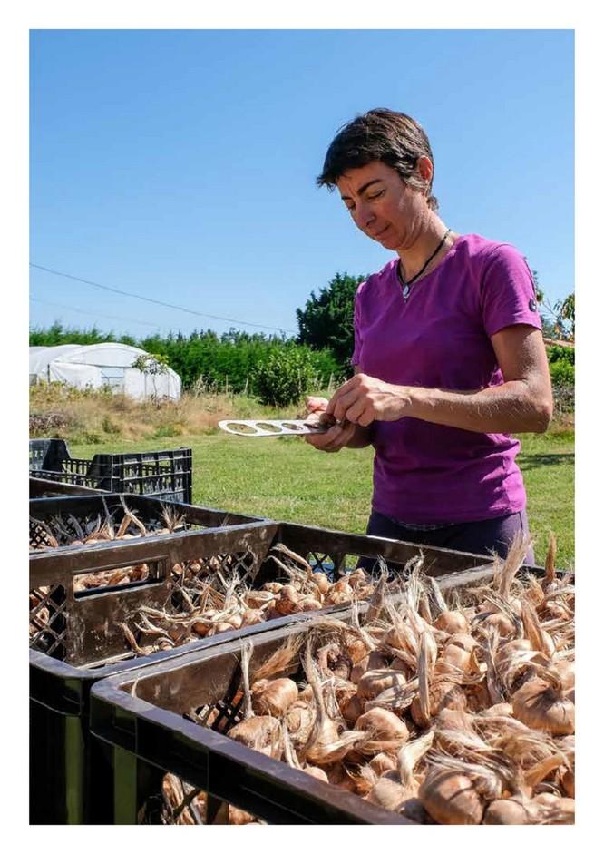 Calibrage des bulbes de safran en été