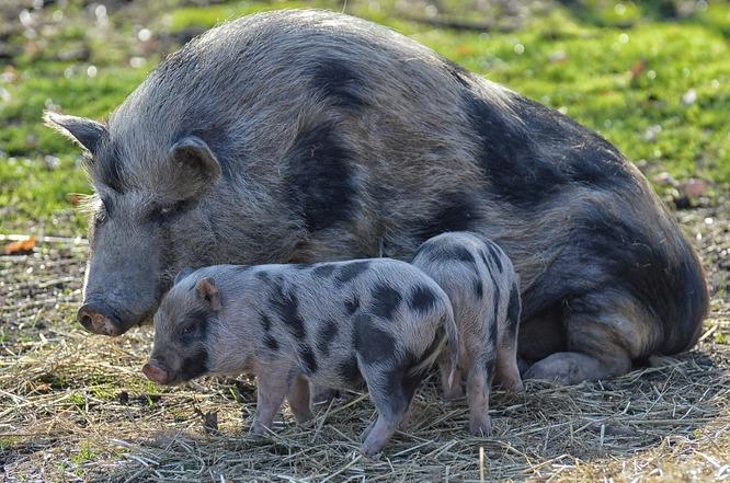 Très vite, deux cochons viendront renforcer l'équipe pour aider à l'entretien du verger.
