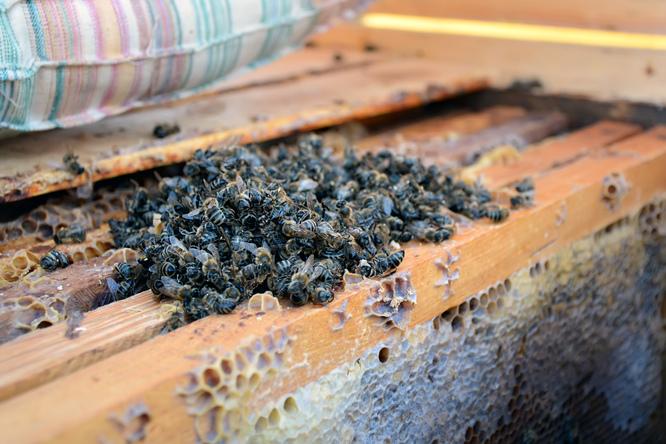 mortalité abeilles