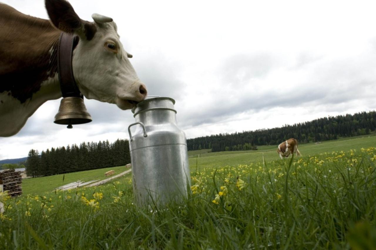 Vache lait