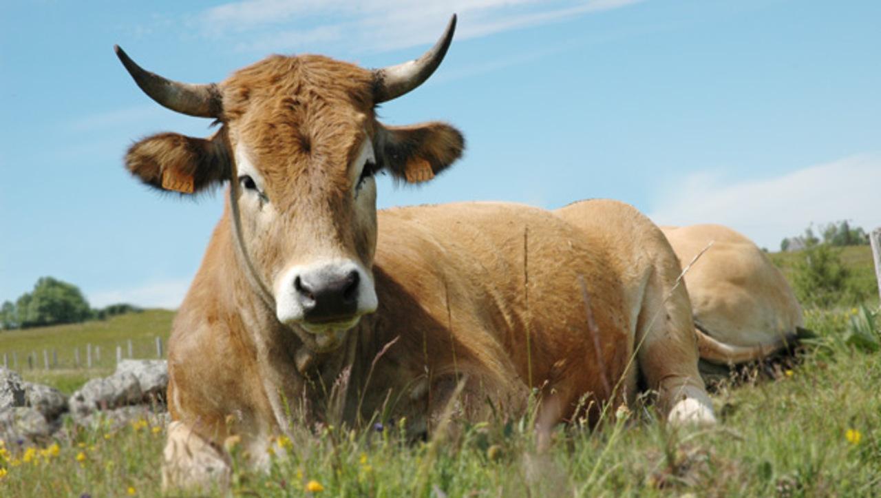 Vache race aubrac