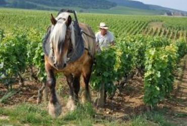 Cheval trait vigne