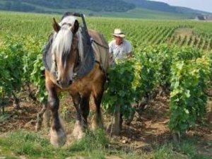 Cheval trait vigne
