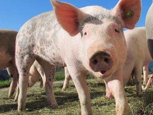 Pig alp rona furna sow 63285