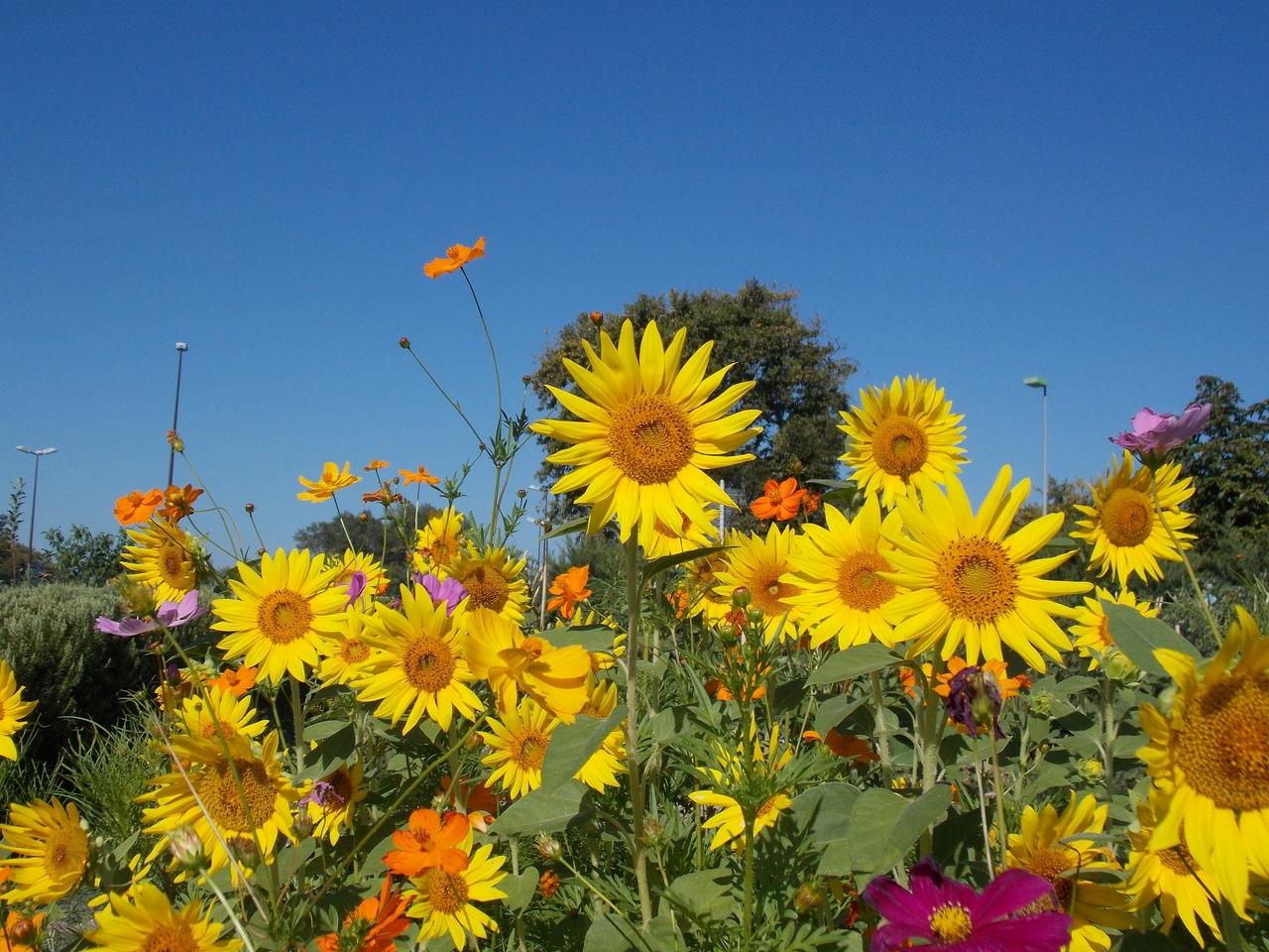 Parcelle pollinisateurs epicurium