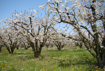 Cerisiers fleurs