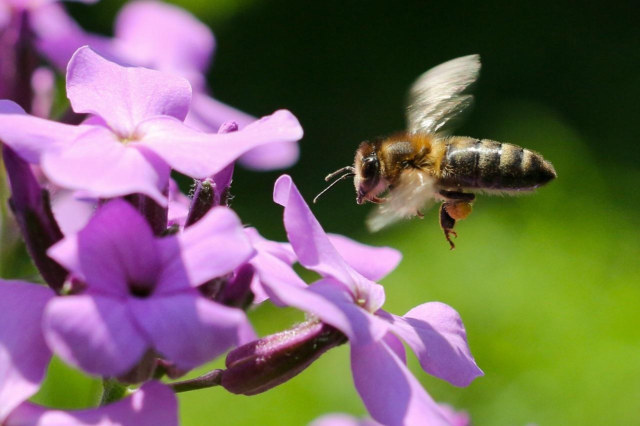 Bee 1521271