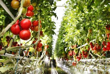 Rougeline biomaase tomates
