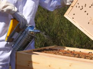 Nico abeille