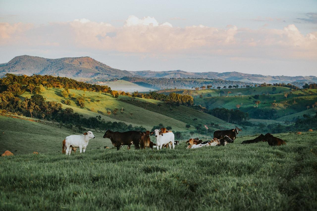 Vaches dans la nature