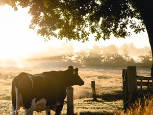 Animal cattle countryside 1276235