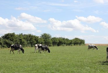 Vaches en pature
