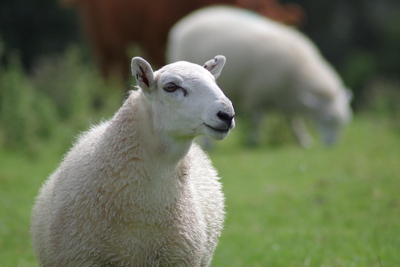 Sheep 897538 1920