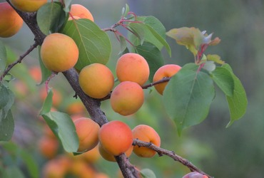 Apricot tree 3384306 1280