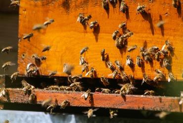 Bees 2254088 1280 copie