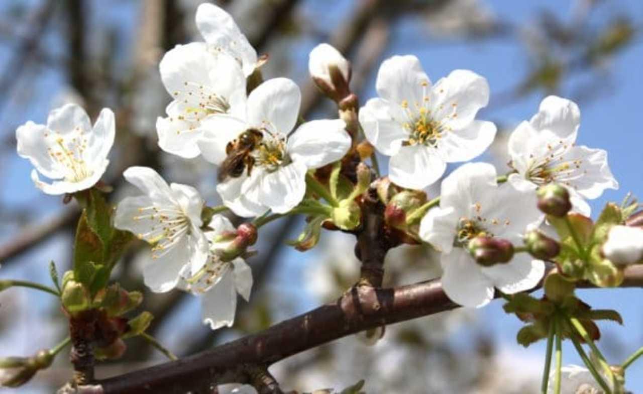 Abeilles sur fleurs miimosa