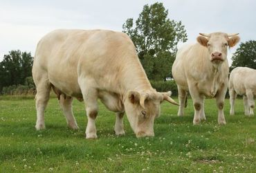 Bovins charolais label rouge %281%29