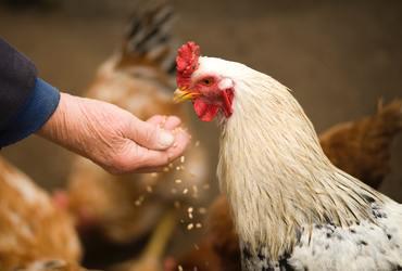 Animal chicken cockerel countryside 375510