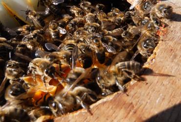 Abeille noire dans ruche miimosa