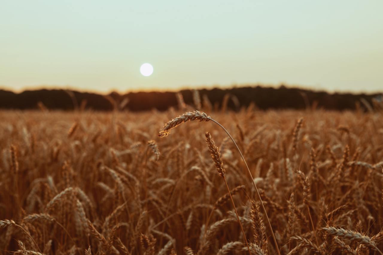 Brown wheat field 3962864