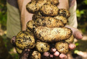 Potatoes 1866415 1920