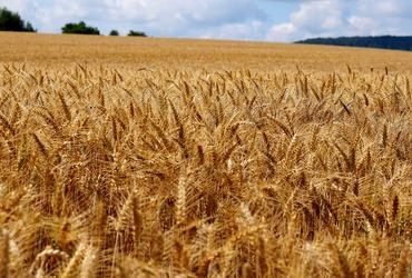 Barley 4359986 1920