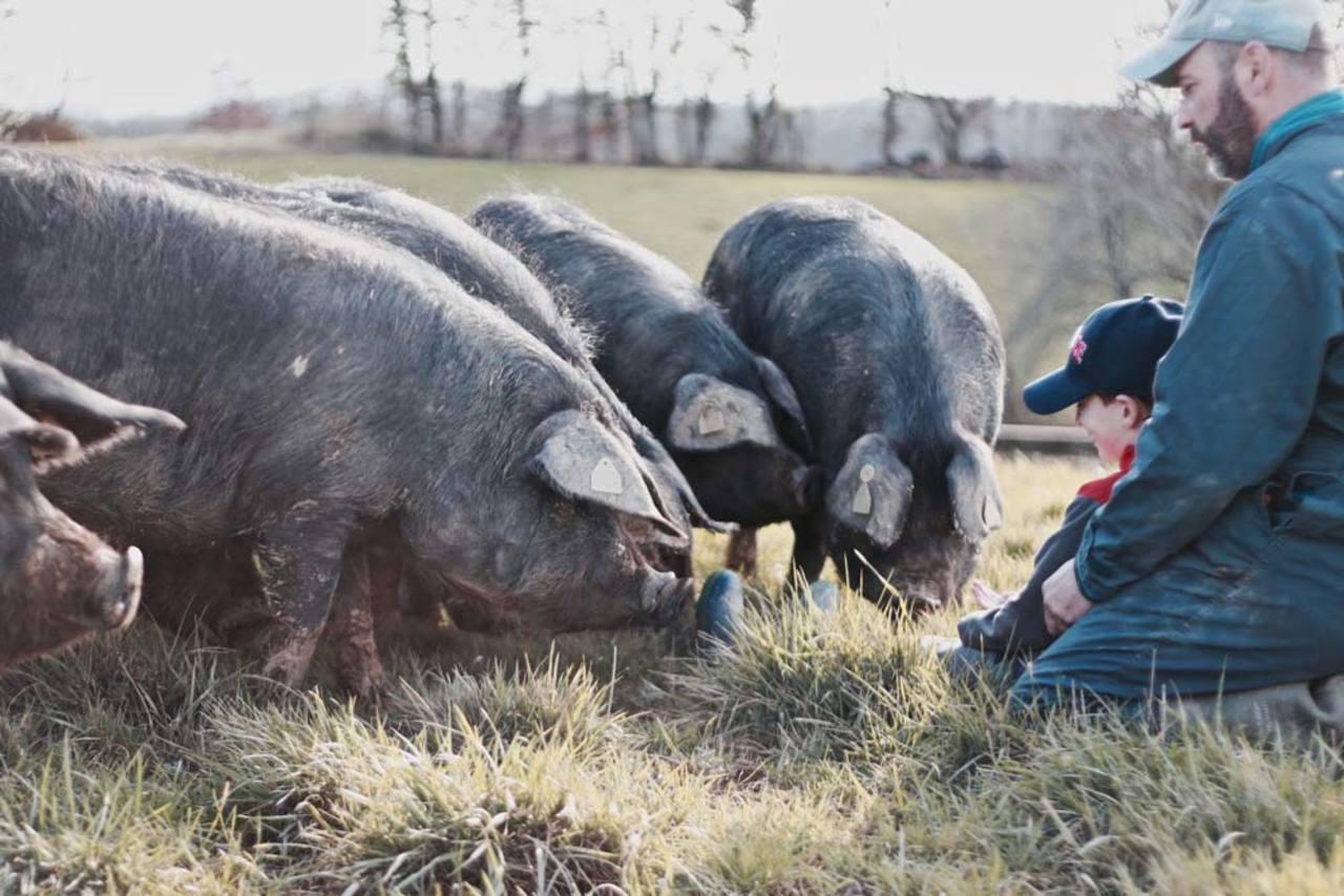 Marie et nicolas rey eleveurs de porc noir de bigorre les cochons sont tres curieux
