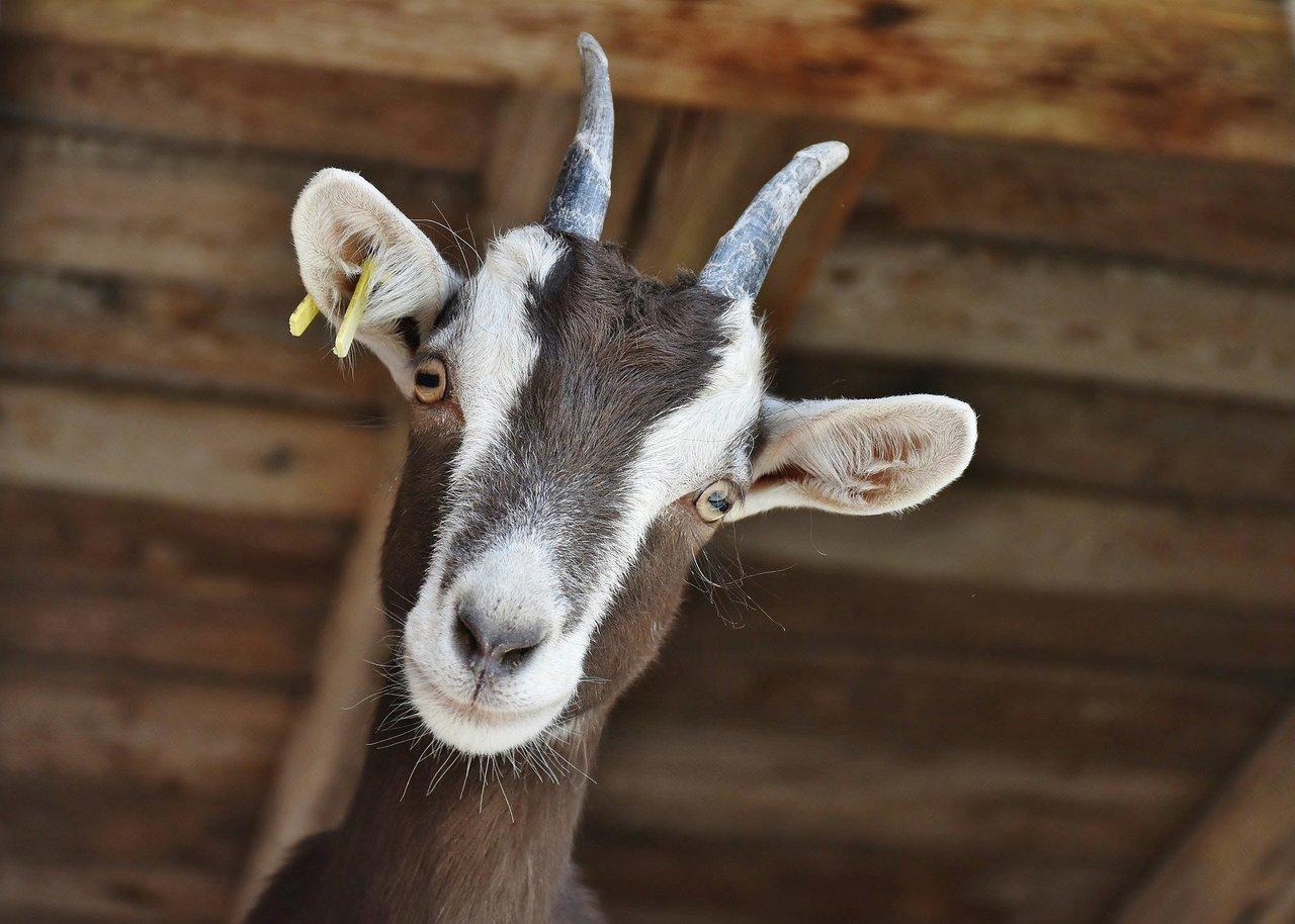 Goat 3613728 1920