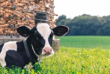 Cow 2559383 1920