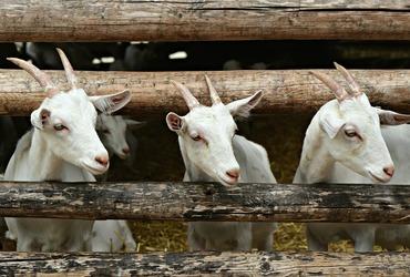 Goat 4884605 1920