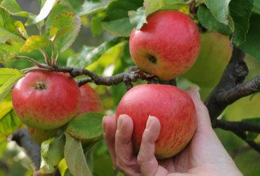 Http   i.huffpost.com gen 3641100 images n fruit tree 628x314