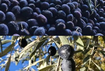 Montage olives2