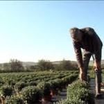 Alain champs de chrysanthemes